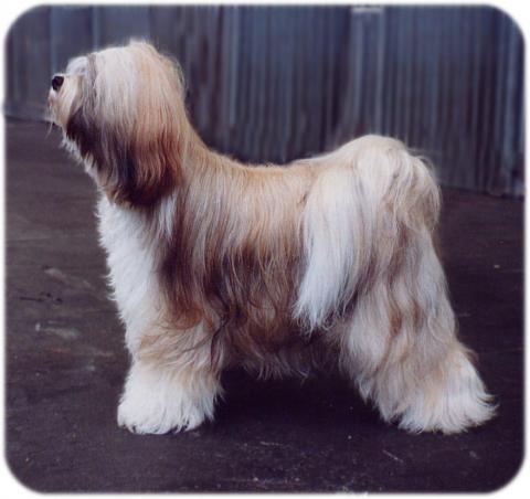 Boshanti Astrid Tibet Terrier
