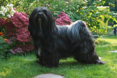 Schwarze Tibet Terrier Hündin posiert im Garten