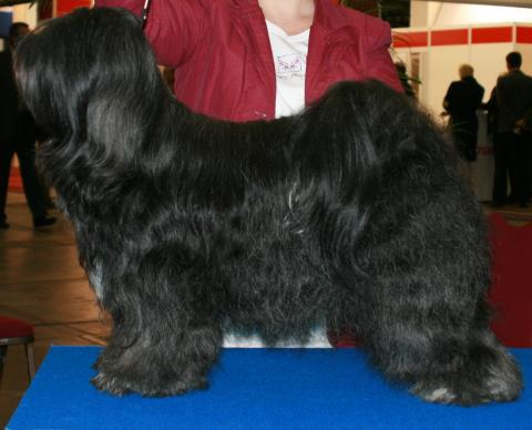 Schwarze Tibet Terrier Hündin wird auf einer Ausstellung präsentiert