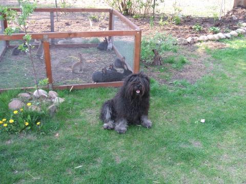 Tibet Terrier Tahnag behütet Haus, Hof und Tiere