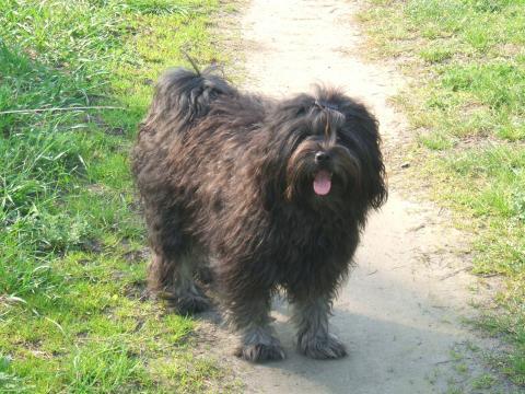 Tibet Terrier H' Tahnag