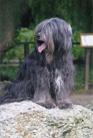 Tibet Terrier Hündin Z-Taku Ba-ra-ly