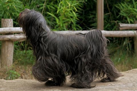 Tibet Terrier Hündin Z-Taku Hebuju-teba-Skar-mo