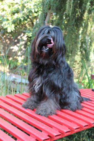 Tibet Terrier Hündin Ellie