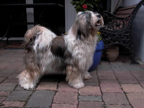 Tibet Terrier Hündin Safira von Lhaschu
