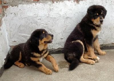 Byang dkar cha Kennel, 2 Do Khyi-Junghunde spielen vor einer Mauer