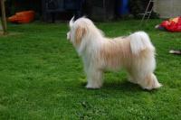 Tibet Terrier Hündin Bous-Thun A-Lhy