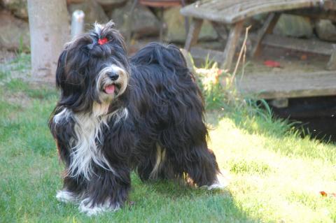 Tibet Terrier Fiory-Eyala de la Chapelle des Anges
