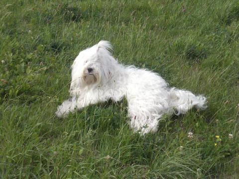 Tibet Terrier Hündin Peggy