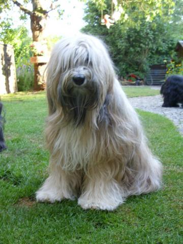 Tibet Terrier Hündin Ruby