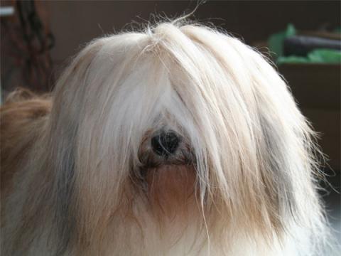 unsere Hübsche Tibet Terrier Hündin