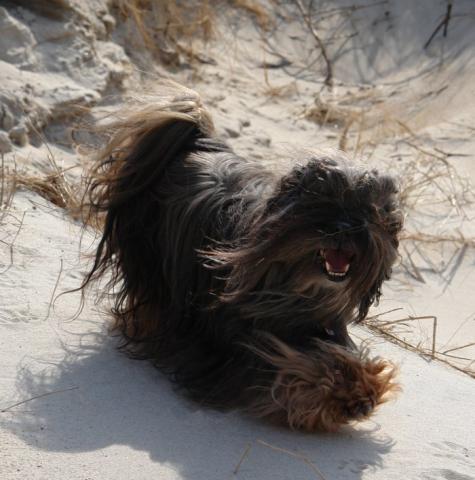 ein fröhlicher Lhasa Apso beim Strandspziergang