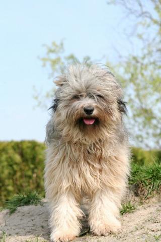 Tibet Terrier Hündin Gan-ji-ra, 10 Monate alt
