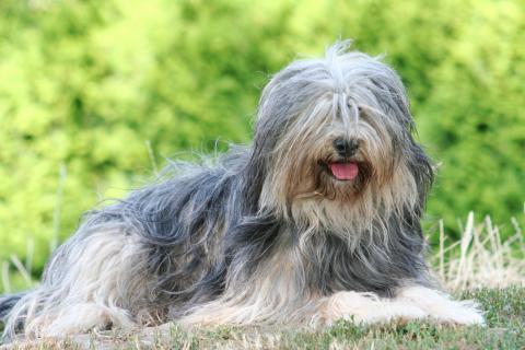 Tibet Terrier Hündin Gan-ji-ra