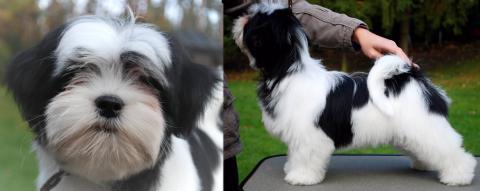 Diva als Puppy