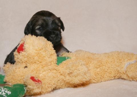 Tso Tschunggi Dekyi Tibet Terrier D-Wurf, Rüde 1, 3 Wochen alt