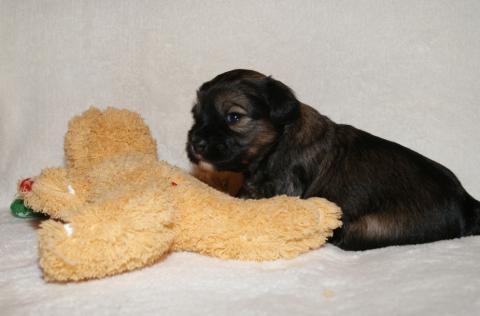 Tso Tschunggi Dekyi Tibet Terrier D-Wurf, Rüde 2, 3 Wochen alt