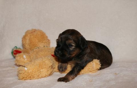 Tso Tschunggi Dekyi Tibet Terrier D-Wurf, Rüde 3, 3 Wochen alt