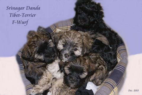 Tibet-Terrier Srinagar Danda F-Wurf - 8 Wochen alt