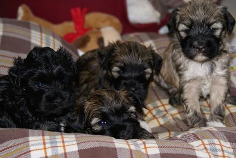 """Srinagar Danda"" - Tibet Terrier - F- Wurf - 4,5 Wochen alt"