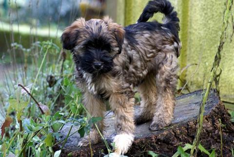 Tibet Terrier Welpe - Femi (Hündin) - 12 Wochen alt