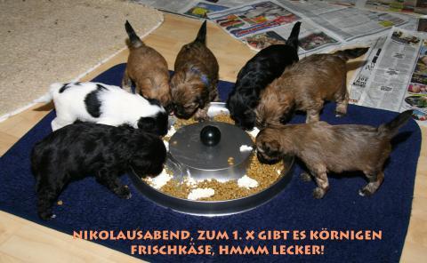 7 Tibet Terrier Welpen beim futternt!