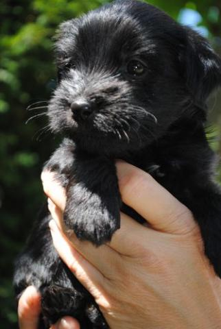 Tibet Terrier Rüde
