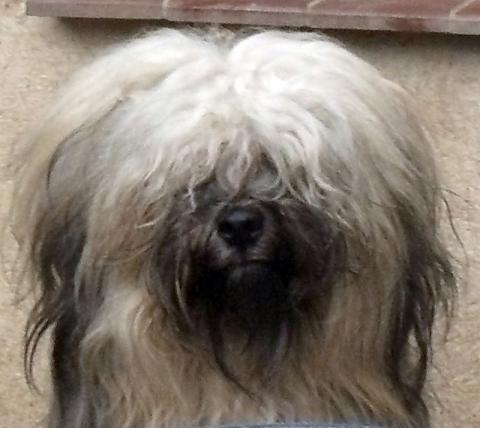 Tibet-Terrier- Welpen von der Bären-Ranch; M.: Jara v.d Bären-Ranch;V.: Xcel's Knockout-Lamleh