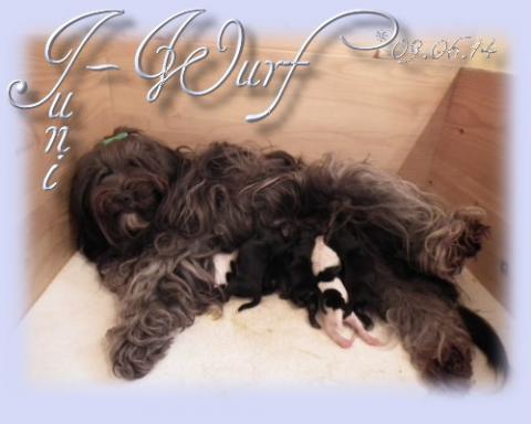 Tibet Terrier Babys Juni