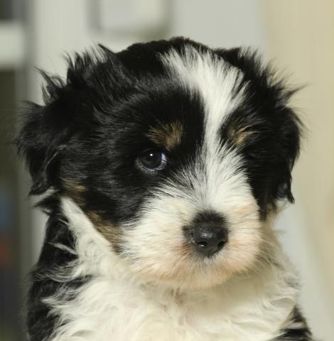 Unsere kleine Tibet Terrier Hündin mit 6 Wochen