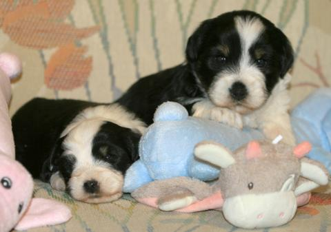 Tibet Terrier Welpen  3,5W. alt