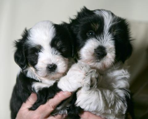 2 Tibet Terrier Mädels im Alter von 6 Wochen