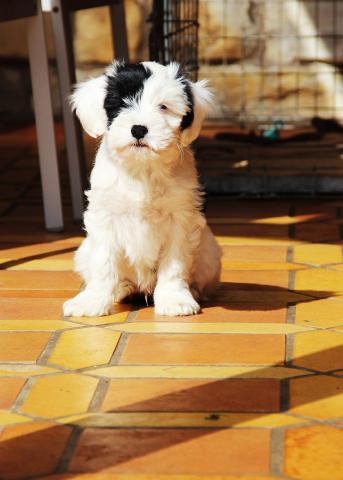E' Ho-Shi-Kooh_Tibet Terrier Welpe_Rüde TTofDW 2015