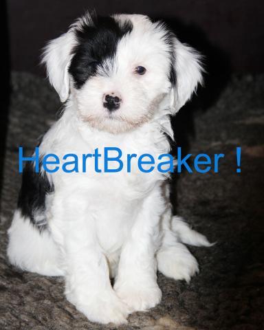 Tibet Terrier Welpe_Rüde TTofDW 2015