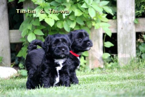 Tin-tin Rüde und seine Schwester, 6 Wochen alt