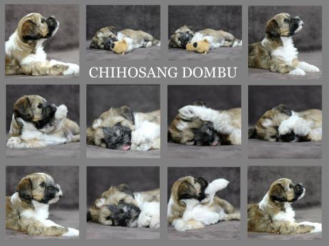 Tibet Terrier Welpe DOMBU im Alter von 6,5 Wochen
