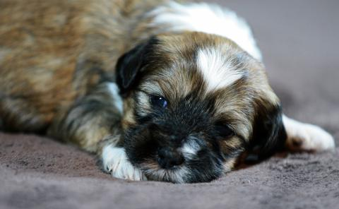 Tibet Terrier Rüde, 3,5W. alt