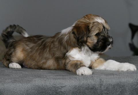 Tibet Terrier Welpe DOMBU, 8,5 W.