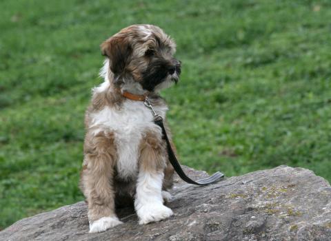 Tibet Terrier Welpe Dombu