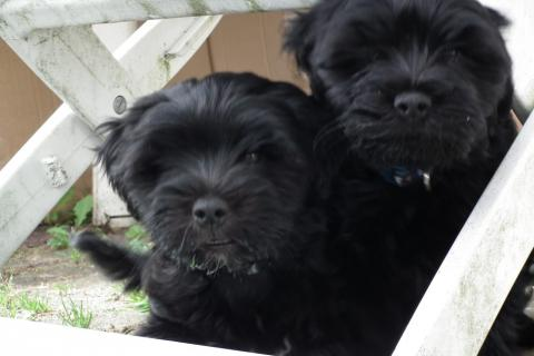 Tibet Terrier Welpen Li-ka und Leo