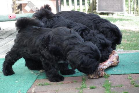 3 Tibet Terrier Welpen mit Riesenknochen