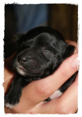 Tibet Terrier Hündin