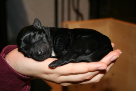 Tibet Terrier Hündin schwarz