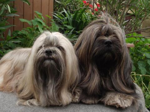 Kangmar B´Mary La und Tienschan´s Khe-san sind die Eltern unserer Lhasa Apso Welpen