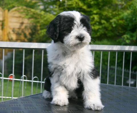 Tibet Terrier Anjali 11 W. alt