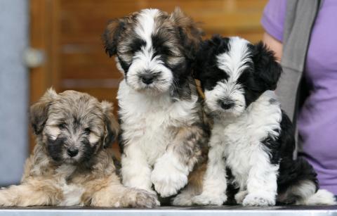 3 Tibet Terrier Mädels im Alter von 8 Wochen