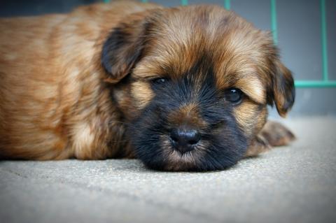 Tibet Terrier Welpe Coffey, Rüde 5 Wochen alt