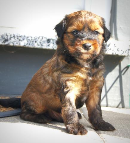 Rüde Chintu 5 Wochen alt