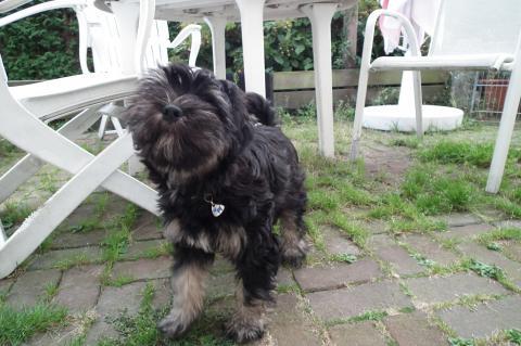 Tibet Terrier Welpe wurden am 11.6. geboren