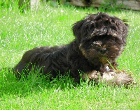 Tibet Terrier Baby Dayan